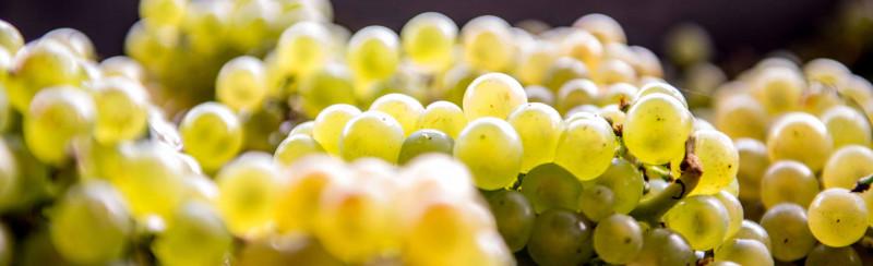 SECLI Weinwelt Produzenten grüne Trauben Wein